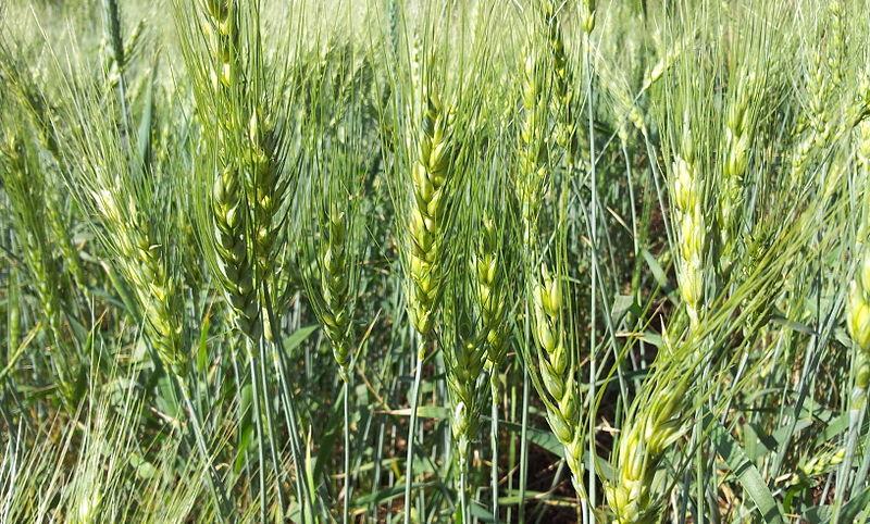 Fodder crops list